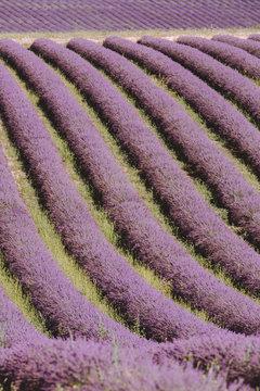 A field of purple plants