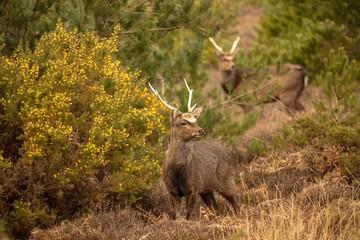 Young Sika deer in heathland