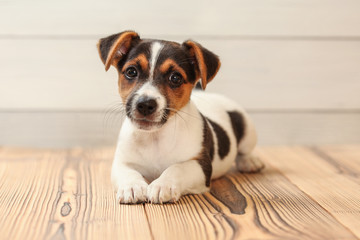 Studio shot - Jack Russell terrier puppy laying on wooden boards floor.