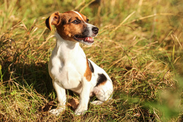 Young Jack Russell terrier sitting in low autumn grass, looking to side, mouth open with teeth visible, afternoon sun shining on her.