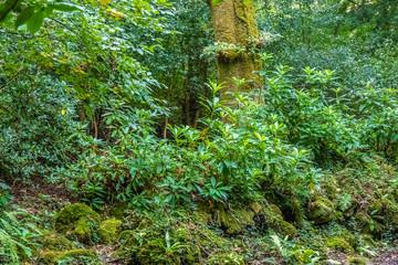 Incredibly lush rain forests, Killarney National Park, County Kerry, Ireland.