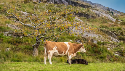 A cow in the midst of the spectacular scenery along the Ring of Beara, relatively unexplored and less known to tourists than the Ring of Kerry. Ireland