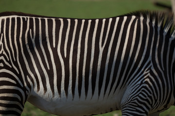 Close up of black and white zebra stripes with green background.
