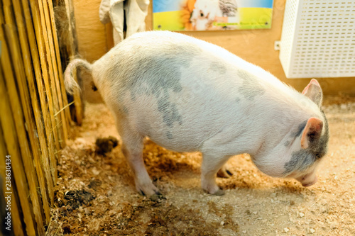 Decorative pig - mini pig - poops, animals in the contact