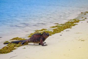 Outdoor view of marine iguana on Tortuga bay beach at Galapagos island