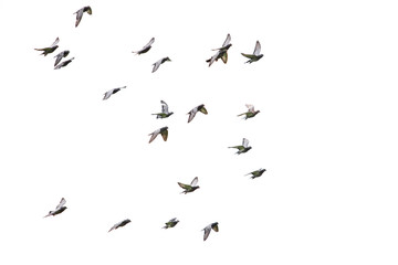flock of speed racing pigeon flying isolated white background Wall mural
