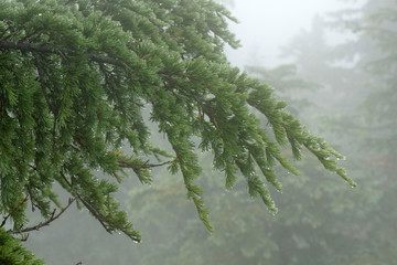 Mountain hemlock, Carpenter Mountain, H.J. Andrews Experimental Forest, Willamette National Forest, Oregon, USA