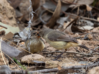 "Adult Bird feeding Fledgling.. sequence of four images. Buff-rumped Thornbill (Acanthiza reguloides) race ""australis"""