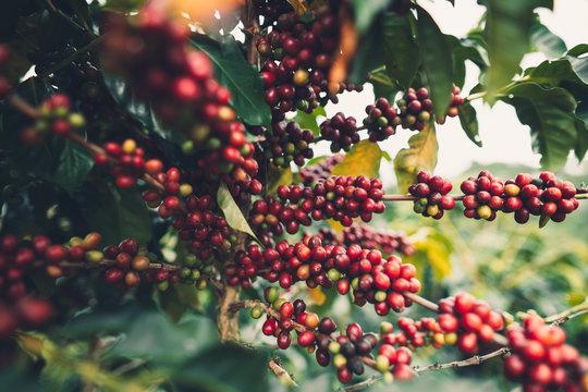 cherry coffee Good quality red coffee beans exuberant coffee tree