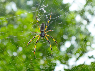 Golden Wood Spider (Nephila clavipes)