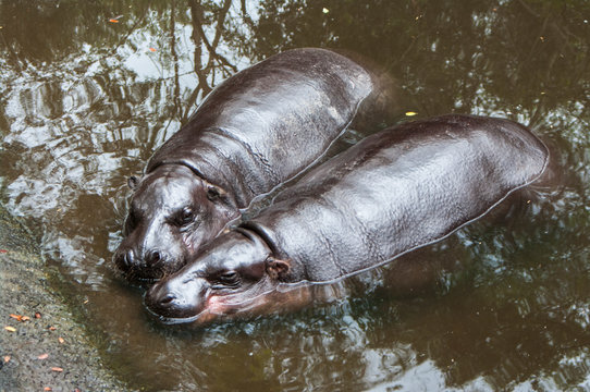 Pygmy Hippo / pygmy hippopotamus is a small
