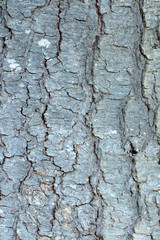 White fir (Abies concolor), Castle Crest Wildflower Garden, Crater Lake National Park, Oregon, USA