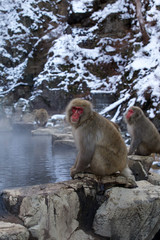 A Snow Monkey (Japanese Macaque) sitting on rocks near a warm thermal spring in Japan