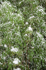 Green bamboo in the snow