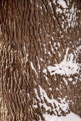 Bark texture with snow