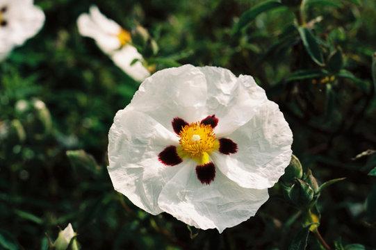 Cistus rock rose cultivar