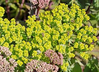 Blühende Wolfsmilch, Euphorbia