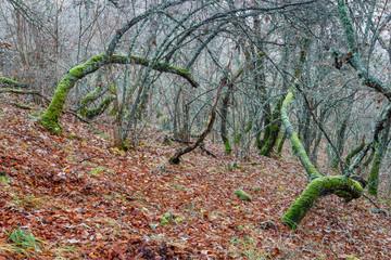 Bosque de robles y hayas con troncos retorcidos y cubiertos de musgo en otoño.