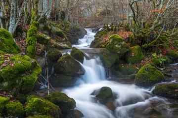 Arroyo con saltos de agua y rocas cubiertas de líquenes en un bosque de hayas en otoño. Fagus sylvatica.