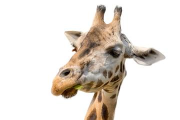 Closeup portrait of a giraffe head Giraffa Camelopardalis eating leaf isolated on white background.