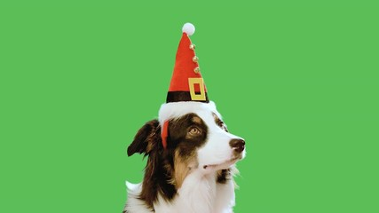 020 dog with christmas hat against chroma key green screen background cute aussie on green chromakey