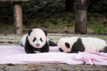 Two baby pandas on a pink blanket at the Panda Base in Chengdu, China