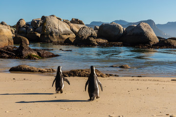 Two penguins walking towards the water