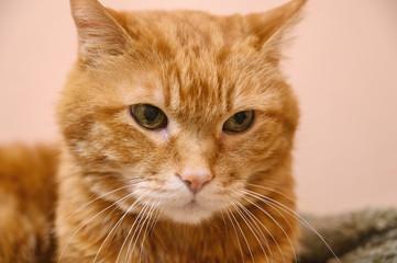 Sleepy red cat. Selective focus on eyes.
