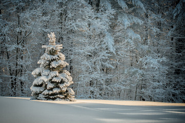 Snow covered spruce tree stands alone in a field against the relief of the snow covered branches of the forest