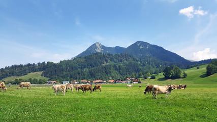 Allgäu Cows Bavaria