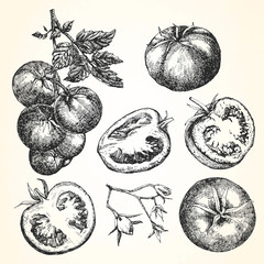 Hand-drawn illustration of Tomato, vector