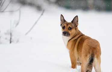 dog in the snow for a walk in winter