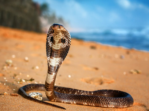 live King cobra on the sand