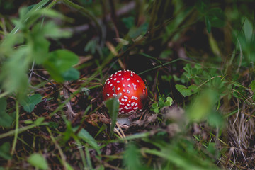 Young amanita muscaria mushroom hidden in the forest