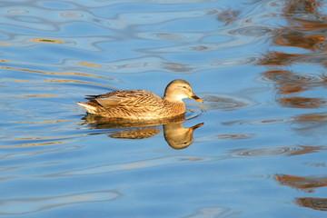 Wild duck female on lake