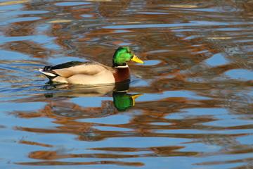 Wild duck male on lake