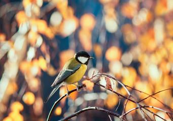 Fototapeta premium naturalny krajobraz z sikorka siedząca w słonecznym parku na brzozie z żółtymi jasnymi liśćmi jesienią