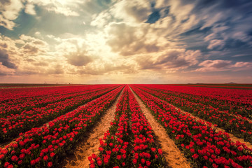 The magical view of the tulip field and the tulip field