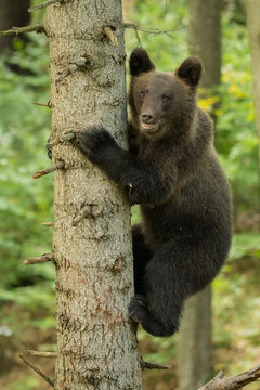 Young brown bear climbs a tree in forest. Bieszczady Mountains.