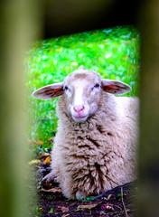 Wall Mural - cute sheep