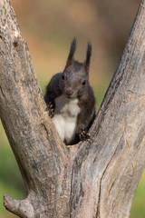 Ritratto di scoiattolo rosso europeo (Sciurus vulgaris)