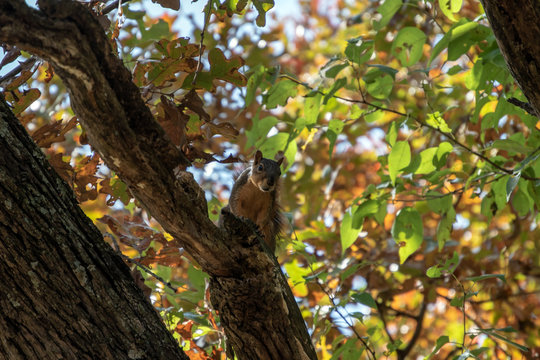 Up in the tree tops, this squirrel appears to make eye contact with the photographer. Bokeh effect.