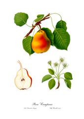 Pear vintage botanic illustration.