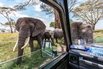 Obraz elephants close to truck at game drive in serengeti africa - fototapety do salonu