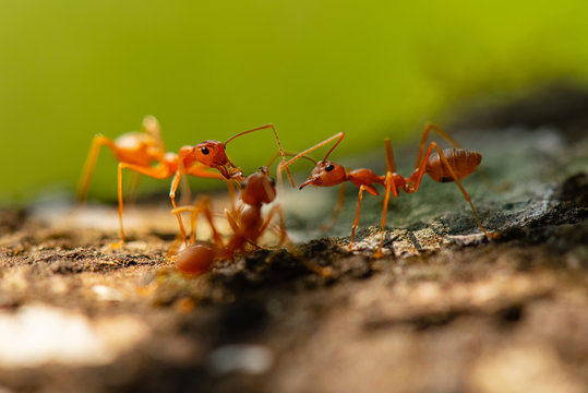 ants,red ants  teamwork.