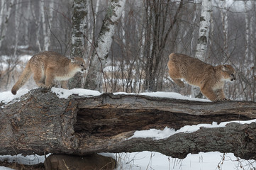 Fotomurales - Female Cougars (Puma concolor) Chase Across Log