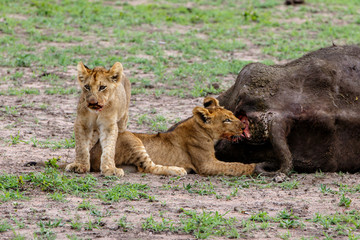 lions hunting a Buffalo in Sabi Sands Game Reserve in the