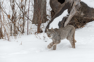 Fotomurales - Canadian Lynx (Lynx canadensis) Stalks Left Through Snow