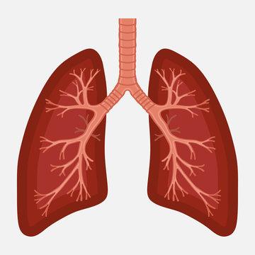 human lung anatomy diagram. illness respiratory cancer