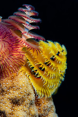 Christmas Tree Worms atop of a hard tropical coral with black background.